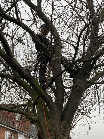 Tree surgeon Wyatts Green_tree pruning Essex